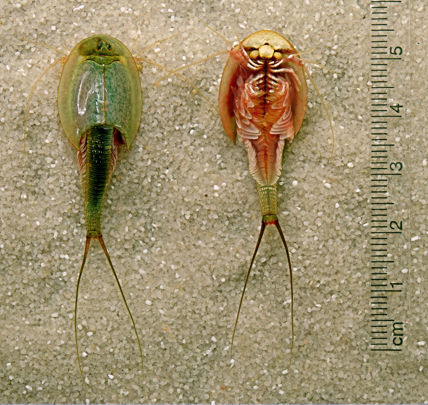 Longicaudatus Or A Subspecies Of Them Have Been Found In Eastern Montana Near Where I Live There Are Many Kinds Triop Mytriops Has Great List